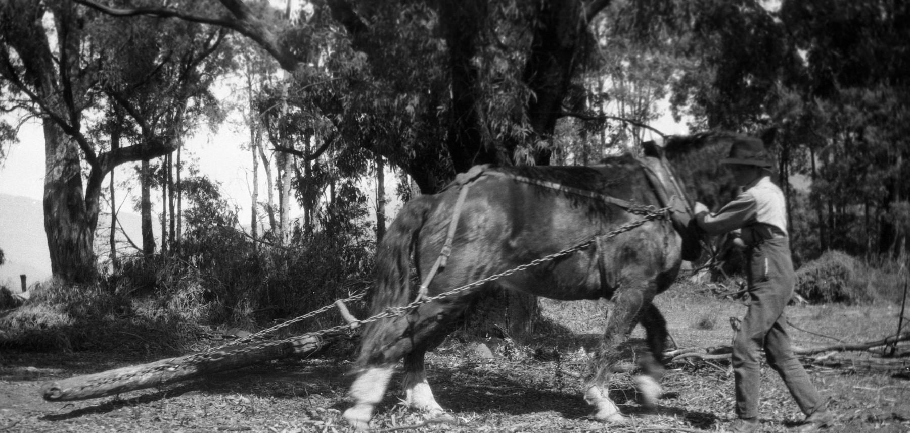 Walter-Ryder-Jnr-clearing-timber-from-farmland-at-Tawonga-c.-1926