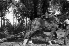 Walter-Ryder-Jnr-clearing-timber-from-farmland-at-Tawonga-c.-1926