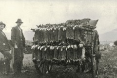 rabbits-loaded-on-dray-ready-for-sale-in-Bright